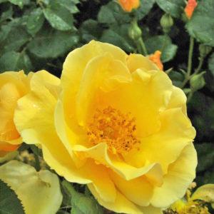 Róża Campina Gold