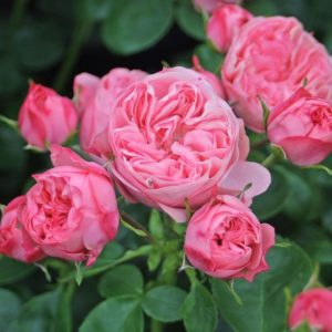 Rokoko®Roses (Noblesse® Spray Roses)