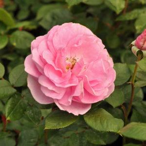 Róża Ghita Renaissance