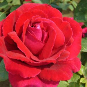 Róża Matilda