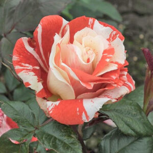 Róża Hanky Panky