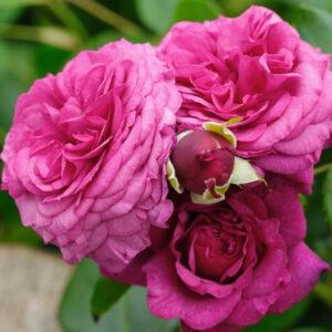Róża Kaffe Fassett Rose