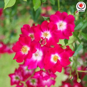 Róża Libertas