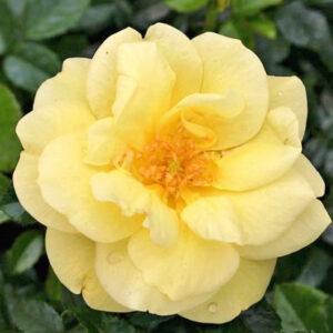 Róża Loredo