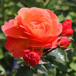 Róża Morning Sun