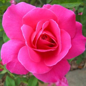 Róża Pink Peace
