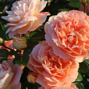 Róża Schöne vom See