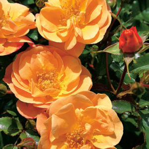 Róża Sedana