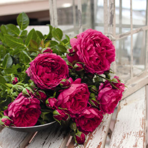 Róża Soul