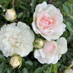 Róża Swany