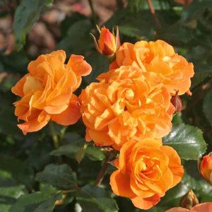 Róża Westzeit
