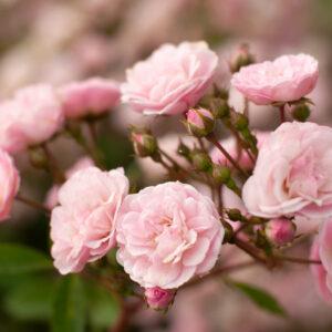 Róża Heavenly Pink