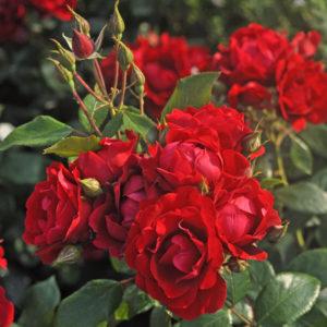Róża Milano