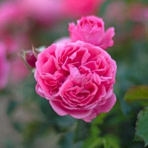 Róża Moin Moin