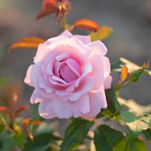 Róża Parfum de Liberté