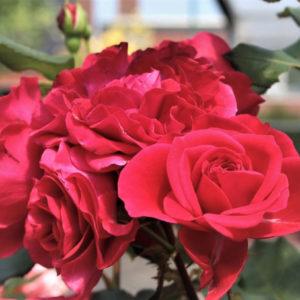 Róża Rouge Meilove