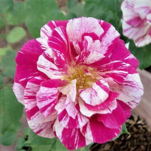 Róża Summer Candy