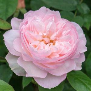 Róża Gentle Hermione