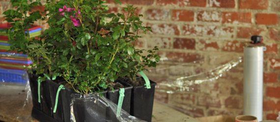 pakowanie róż